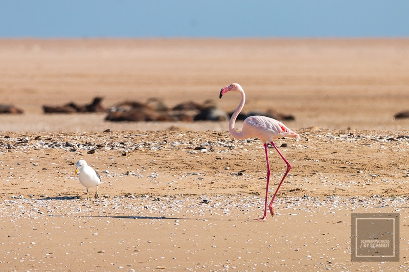 Namibia Rundreise 3 - Flamingo am Strand
