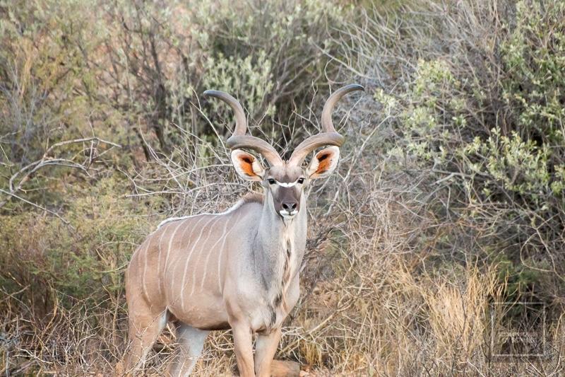 Namibia Rundreise 4 - Kudu