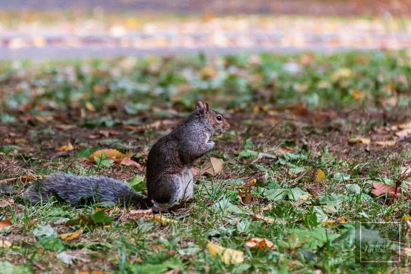 New York City - Hörnchen