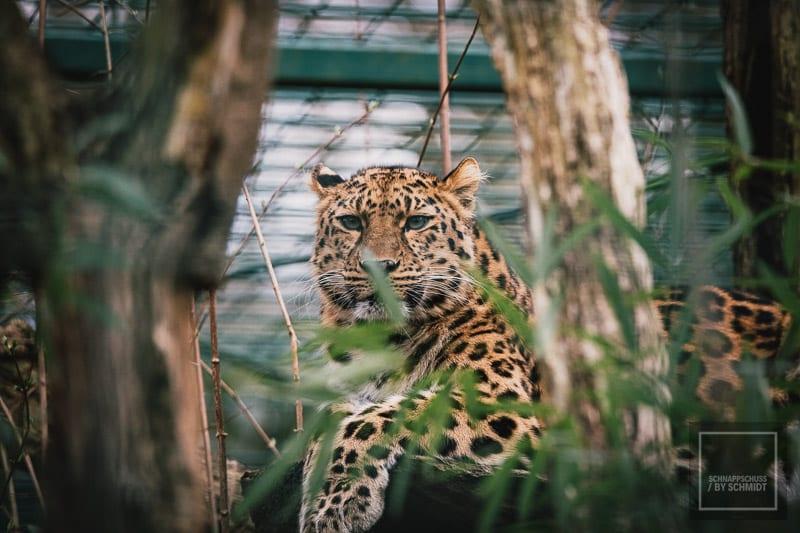 Zoo Dortmund - Amur Leopard Porträt