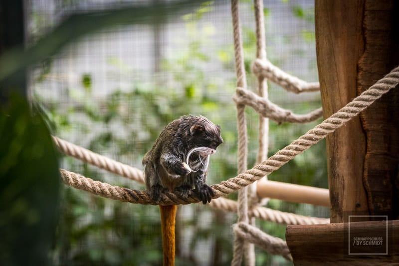 Zoo Dortmund - Kaiserschnurrbart-Tamrin