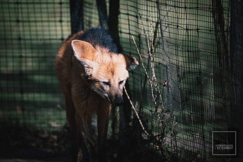 Zoo Dortmund - Mähnenwolf