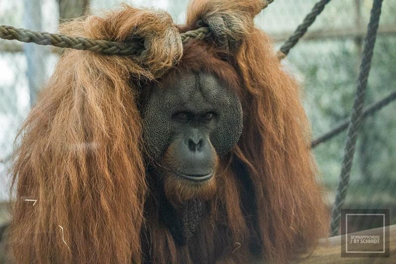 Zoo Dortmund - Orang-Utan 2
