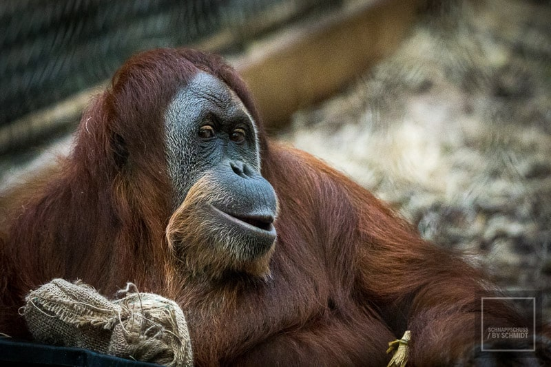Zoo Dortmund - Orang-Utan