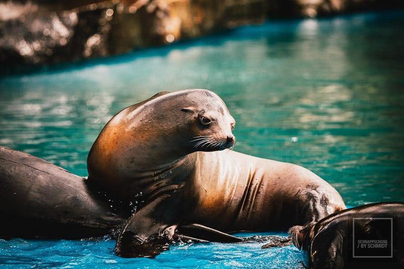 Zoo Dortmund - kalifornischer Seelöwe