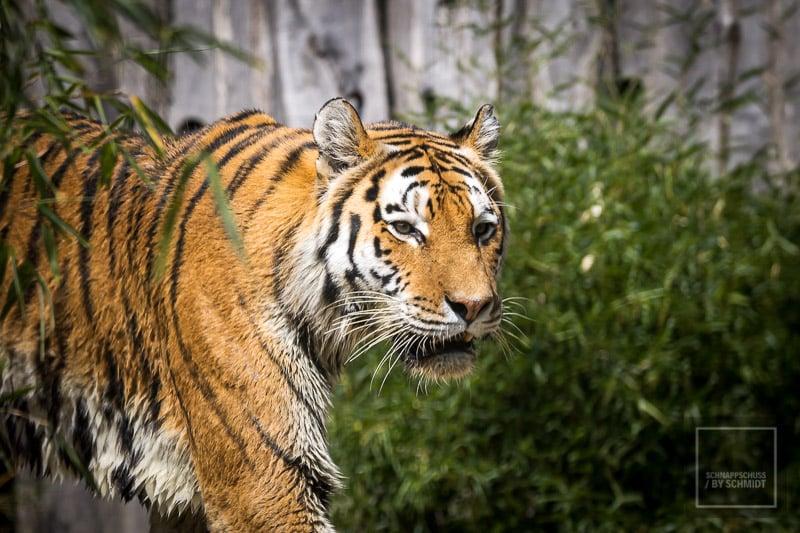 Zoom Erlebniswelt Amur-Tiger 2