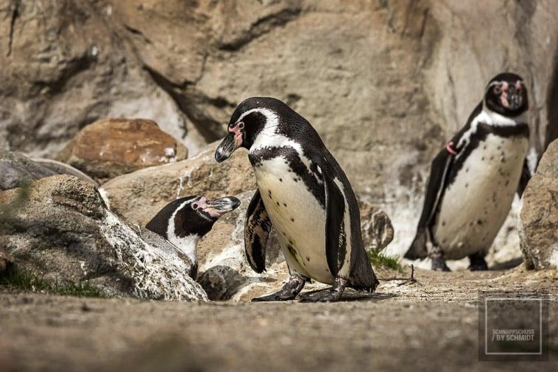 Zoo Rheine - Pinguine