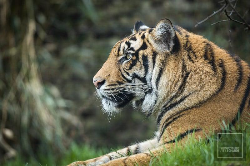 Zoo Rheine - Tiger