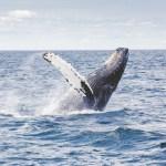 Whale Watching – Wie findet man einen verantwortungsvollen Anbieter für Walbeobachtung?