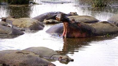Ngorongoro_Krater_Hippos