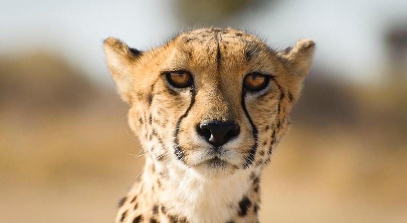 Geparden in Namibia