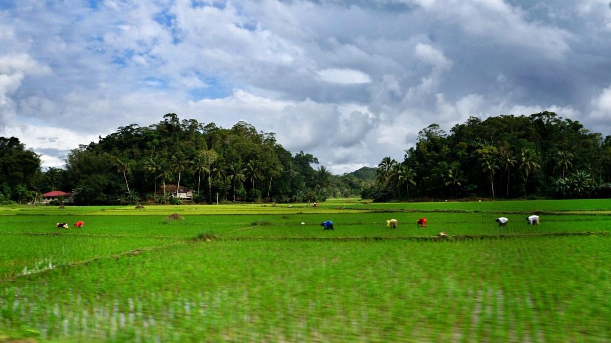 Rondreis Filipijnen: rijstvelden Bohol