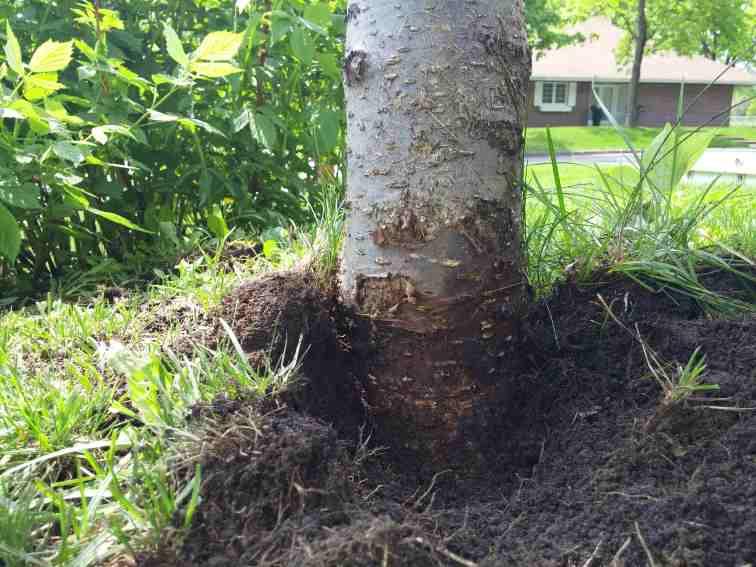 Le gazon compromet la croissance du tronc en diamètre du tronc et favorise des blessures importantes par les outils de coupe (tondeuse et coupe-bordures).