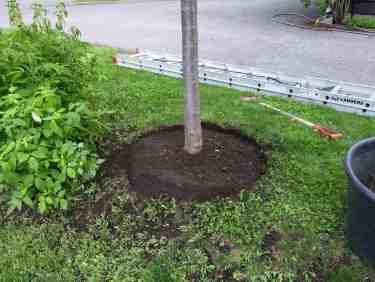 Désherbage et nivelage de la fosse pour en améliorer la captation de l'eau de pluie.