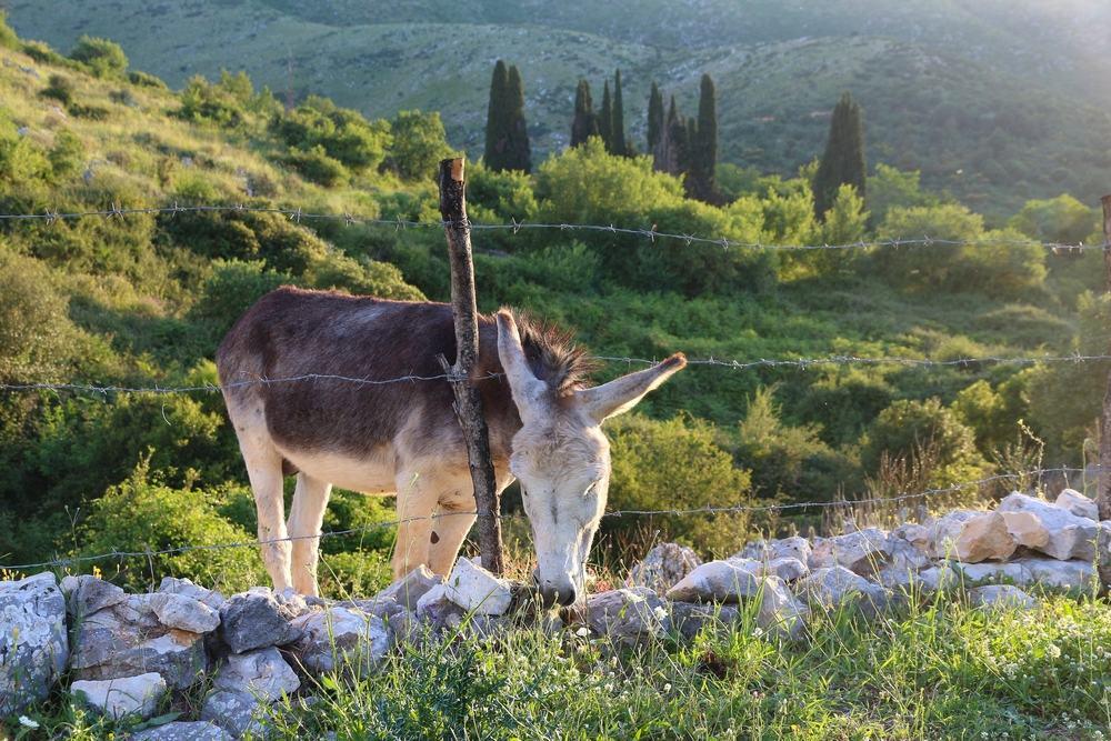 Æsel - Korfu i Grækenland