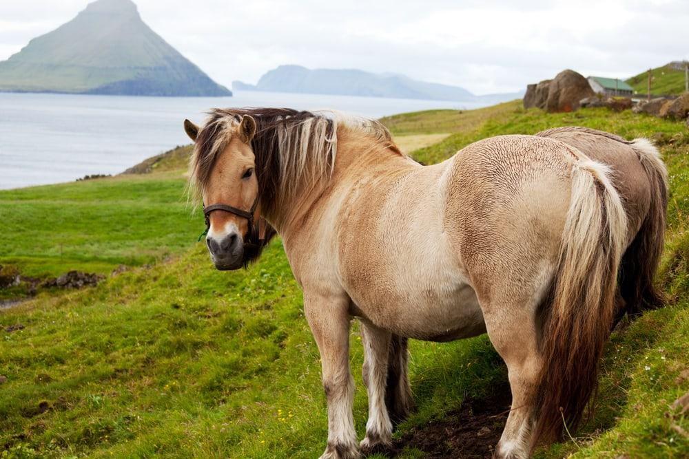 Heste på Færøerne