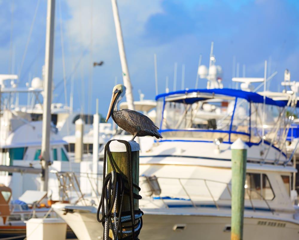 Pelikan på havnen - Fort Lauderdale i Florida