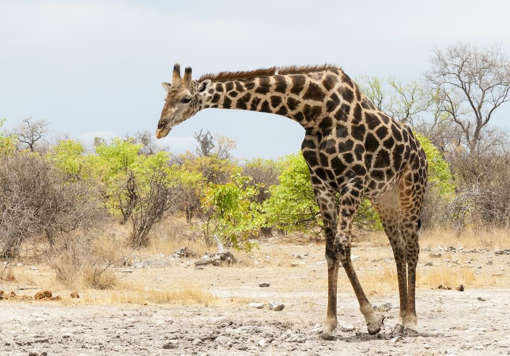 Giraf i Sydafrika