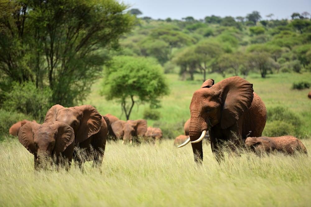 Elefanter i Serengeti Nationalpark - Tanzania i Afrika