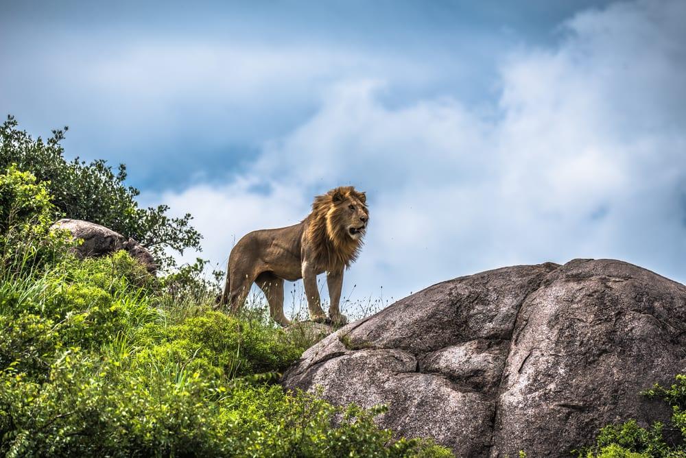 Løve i Serengeti Nationalpark - Tanzania i Afrika