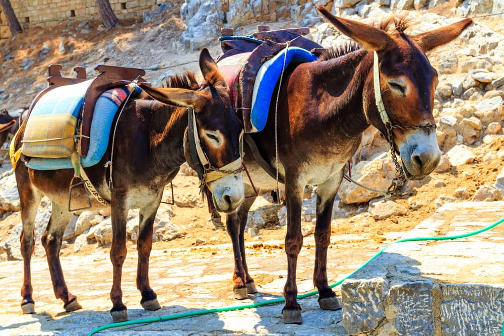 Æsel taxi - Rhodos i Grækenland