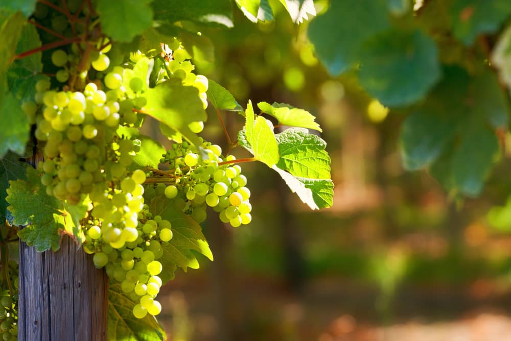 Vindruer - Alsace i Frankrig