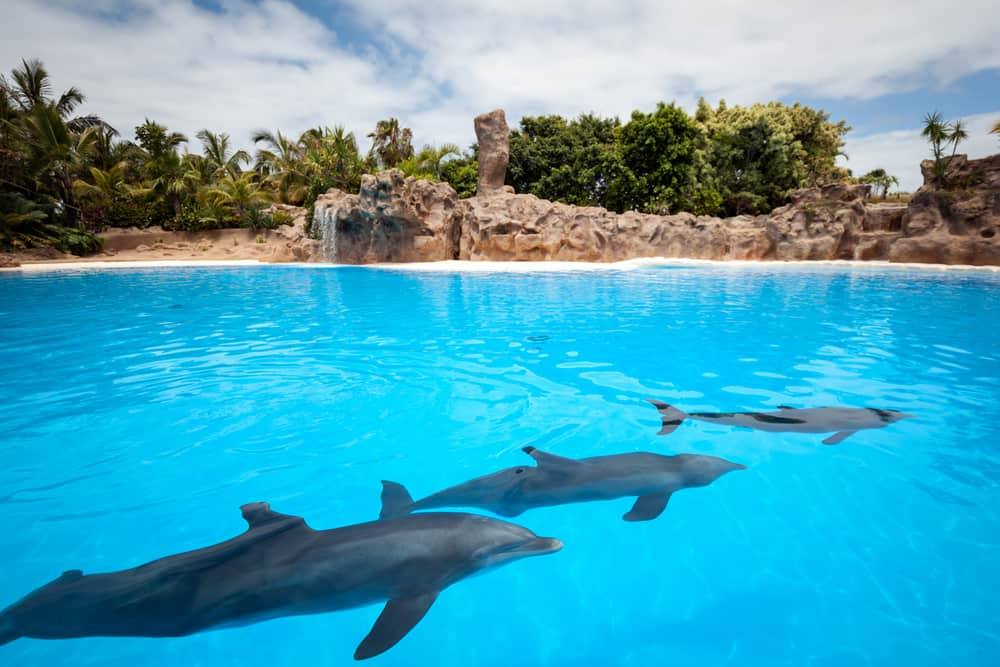 Delfiner på Tenerife i Spanien