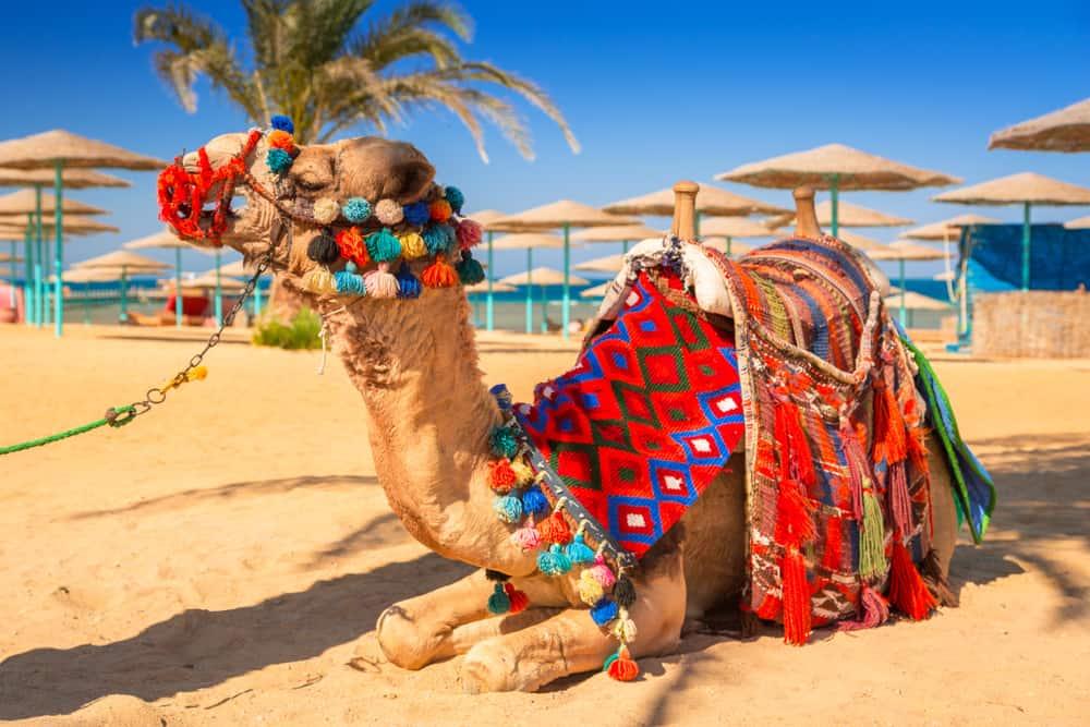 Kamel på stranden - Hurghada i Egypten