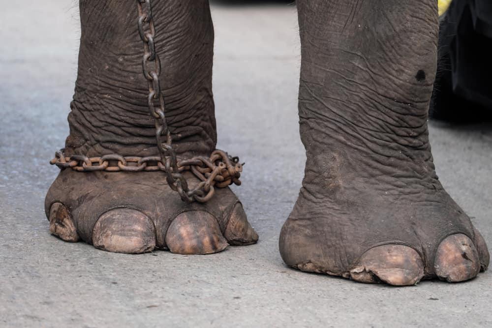 Elefant i fodlænke