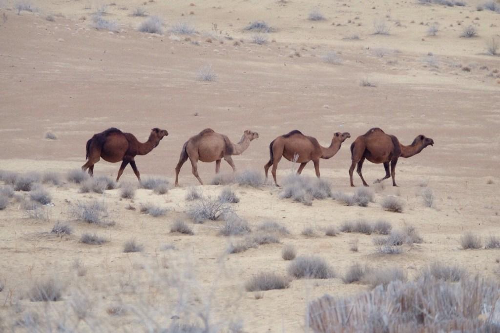 Turkmenistan - dromedarer, ørken - rejser
