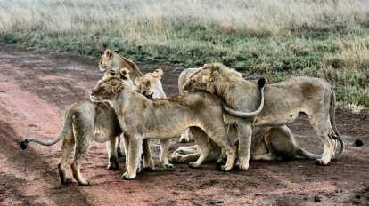 Tanzania - Serengeti ngorongoro-krater- rejser