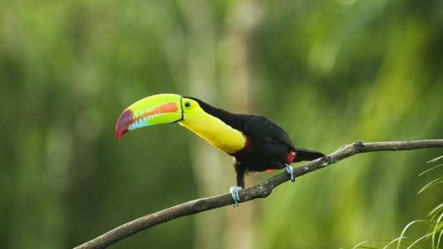 Lamatours.dk - Tucan i Costa Rica - rejser