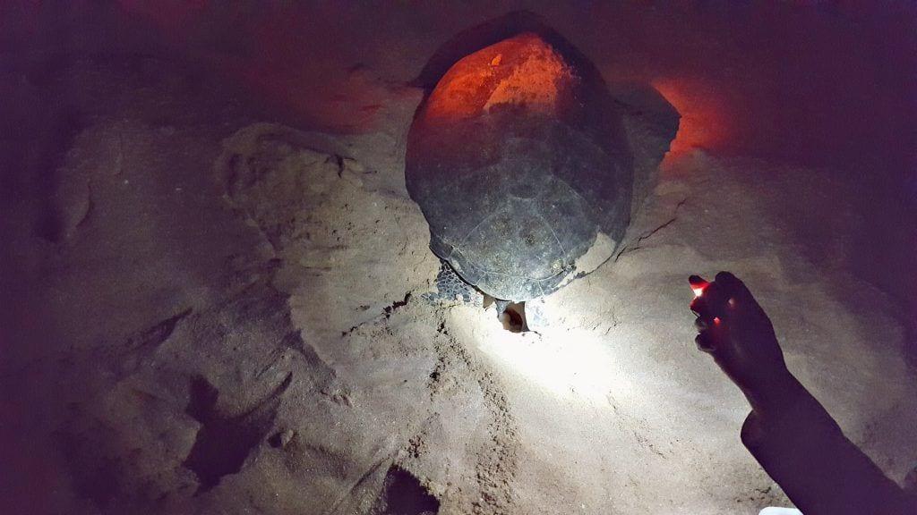 Oman - havskildpadder - æg