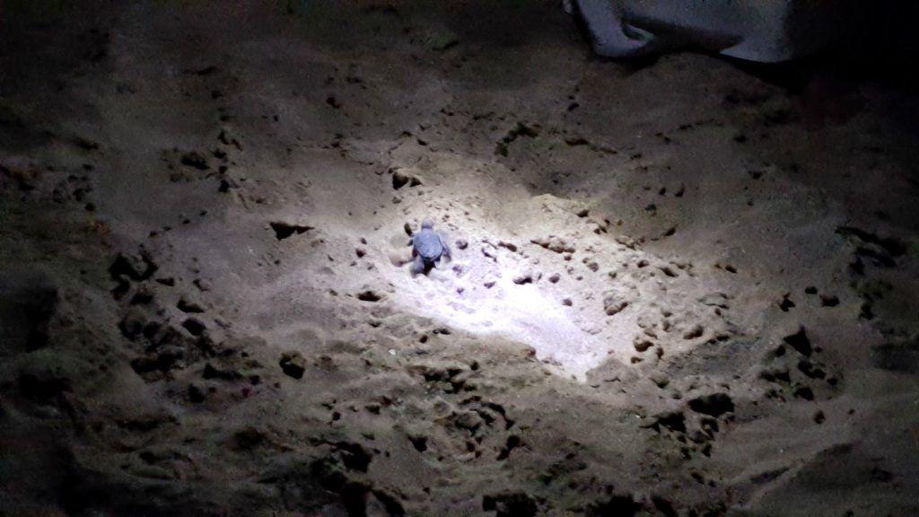 Oman - Babyskildpadde