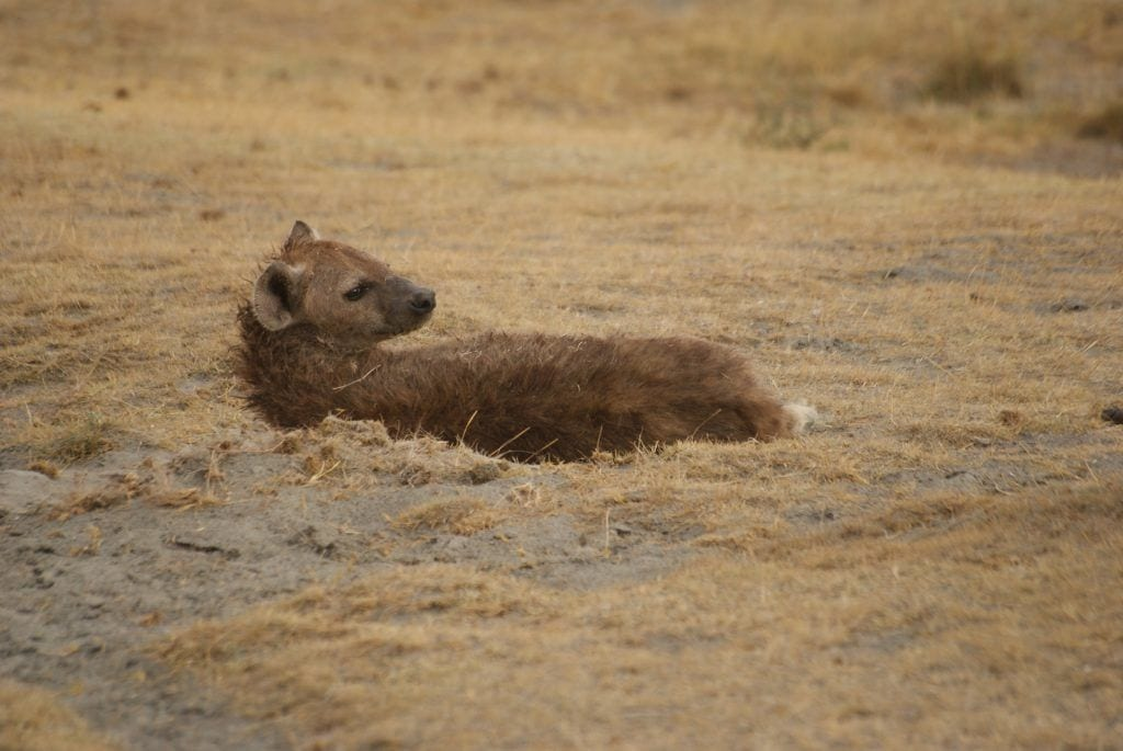 Tanzania - Hyæne