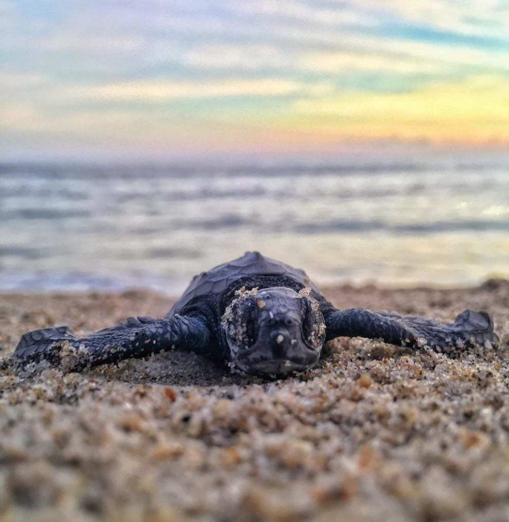 Oman - skildpadde - strand