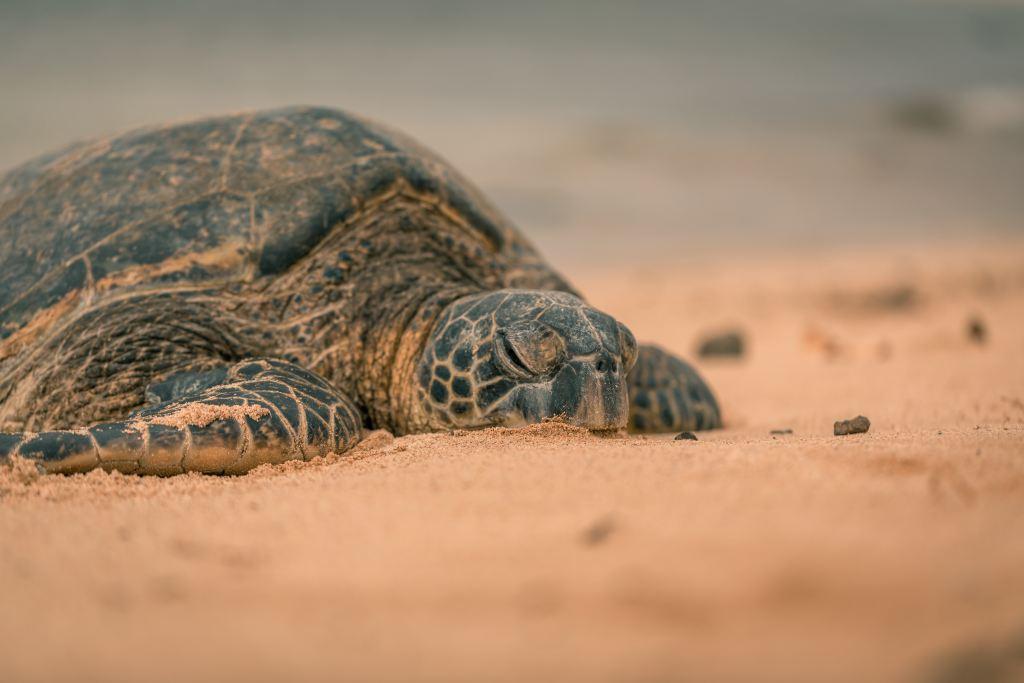 Oman - havskildpadde skildpadder rejser