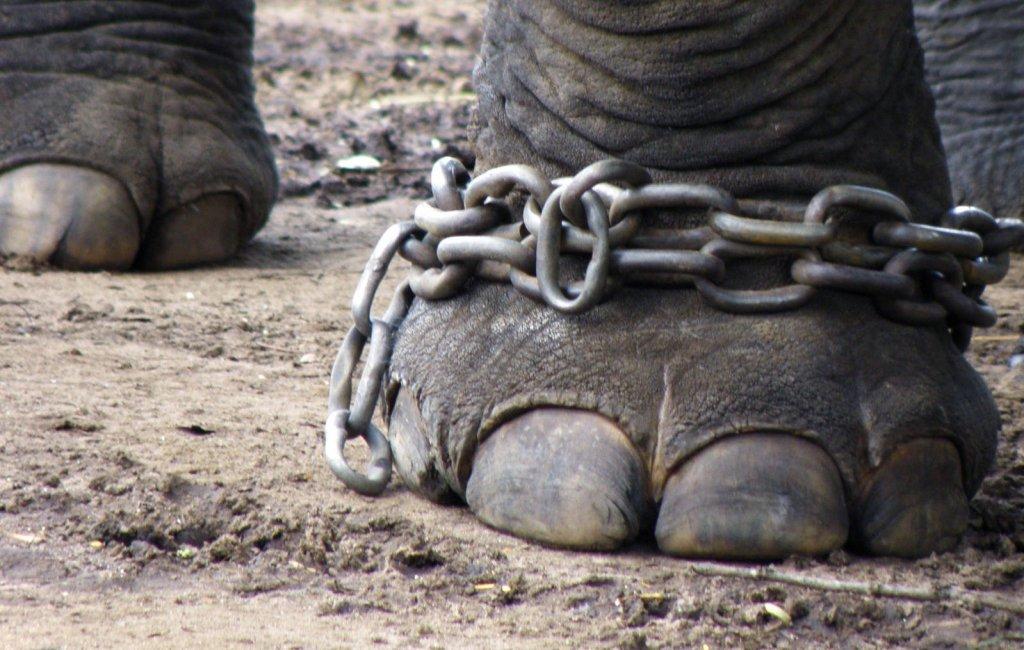 Elefanter - fangeskab - rejser