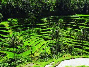 اندونيسيا بالي ، الطبيعة ، حقول الأرز - السفر