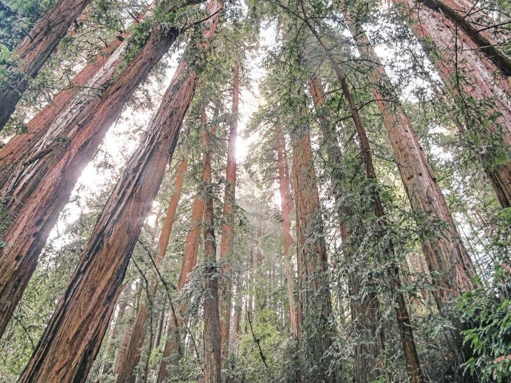 USA - træer natur muir woods - rejser
