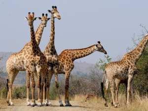 Girafe safari en Afrique du Sud