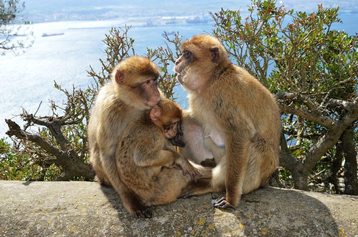 Gibraltar-berberaber-aber