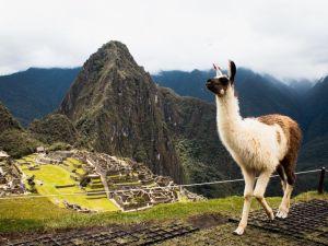 Pérou - Machu Picchu - Lama - Amérique du Sud