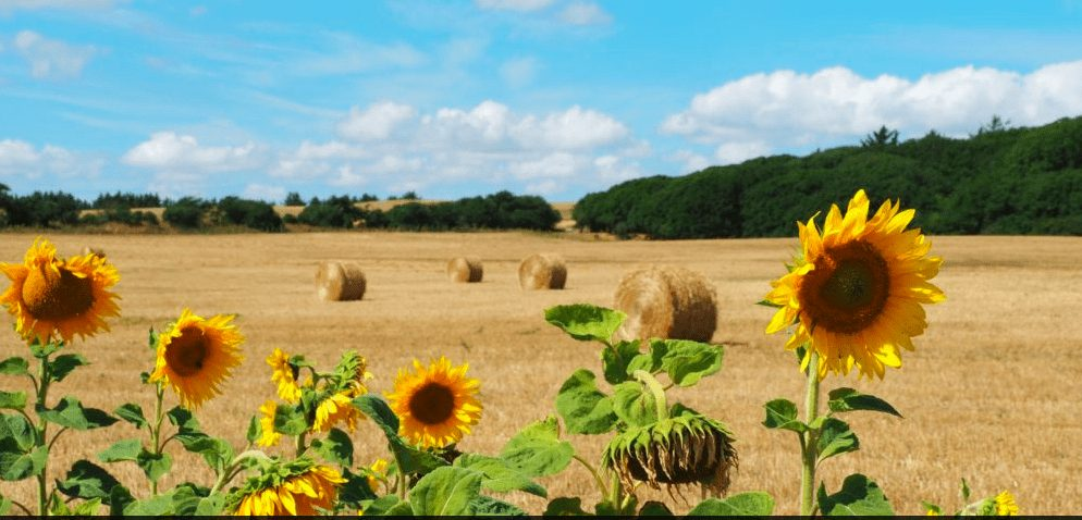 טיול פרחים בשדה דנמרק ליבו
