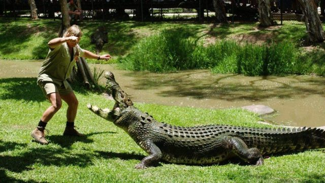 Rejsesjov - australsk krokodille
