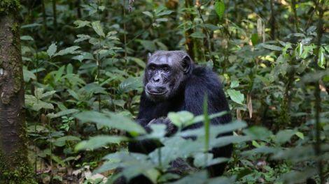 chimpanzee, uganda