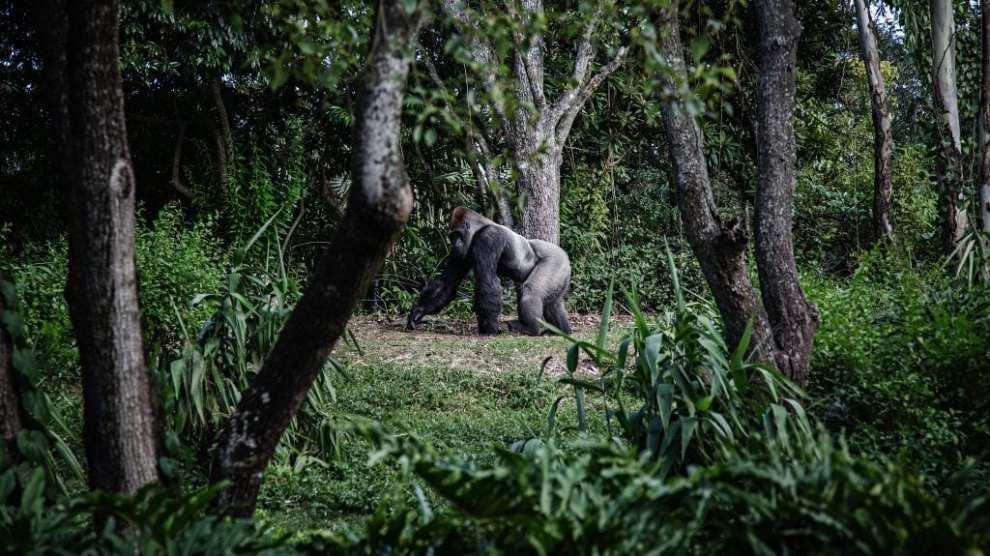 Uganda - gorilla - rejse