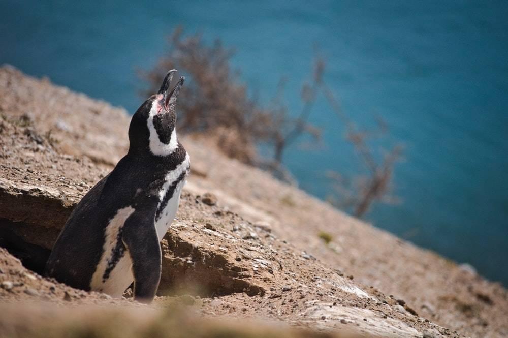 argentina pingvin punta tombo peninsula valdes - rejser
