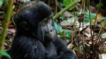 Gorilla - Uganda - rejser
