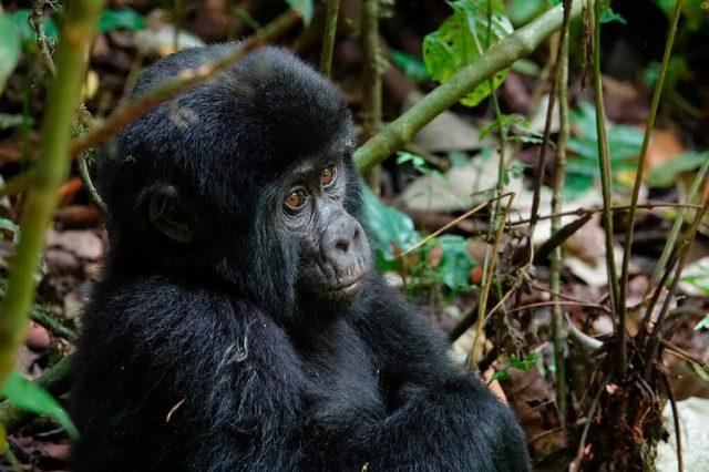 Gorila - Uganda - viajes